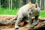 African Leopard, Satwa Afrika Lahir di Prigen