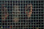 Orangutan Ilegal dari Thailand dan Kuwait Tiba di Jakarta