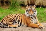 Jumlah Harimau yang Diburu Tahun Ini Meningkat