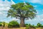 Pohon Baobab Ikonik Afrika Menuju Kepunahan