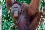 Menyelamatkan Orangutan Lewat Pariwisata