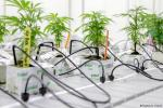 Redam Kejahatan Terorganisir, Kanada Legalisasi Konsumsi Ganja