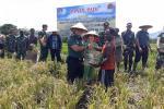 Dandim Jayawijaya dan Warga Elalua-Papua Panen Padi