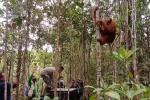 Orangutan Tapanuli Dilepasliarkan ke Habitatnya