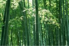 Belajar dari Serumpun Bambu
