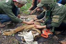 BKSDA Aceh Selamatkan Harimau Sumatera dari Jerat di Gayo Lues