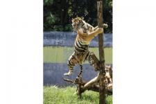 8 Kota di Indonesia Kampanyekan Harimau Sumatera