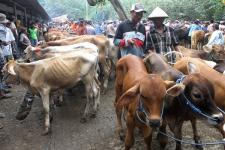 Pemerintah Keluarkan Izin Impor Sapi 123.800 Ekor