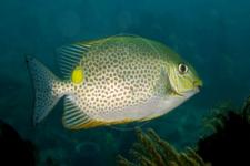 Peneliti IPB Teliti Kulit Ikan Baronang Sumber Kolagen