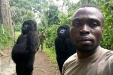 Gorila Ikut Selfie dengan Tim Antiperburuan di Kongo