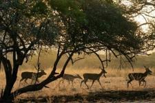 BKSDA: Makanan Menipis Akibatkan Harimau Mendekati Permukiman