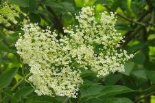 Elderflower, Perasa Pilihan Meghan Markle