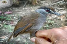 Dianggap Punah Selama 172 Tahun, Burung Pelanduk Kalimantan Ditemukan Kembali