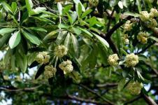 Pulai, Pohon Penghijauan Berkhasiat Obat