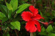 Kembang Sepatu, si Ratu Bunga Tropis