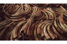 Satu Ton Gading Gajah Berhasil Disita di Uganda