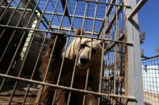 Seekor Beruang dan Singa di Kebun Binatang Mosul Diselamatkan