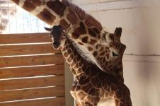 Jerapah Lahirkan Anak Jantan di Kebun Binatang New York