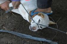 Lebih dari 100 Ribu Anjing Dipotong Setiap Tahun di Bali
