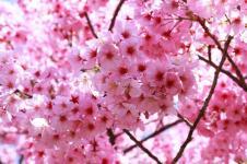 Bunga Sakura Mekar di Kebun Raya Cibodas