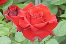 Mawar untuk Relaksasi