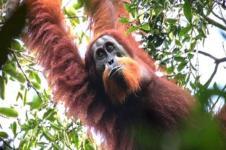 Spesies Baru Orangutan Tapanuli Ditemukan di Pulau Sumatera