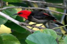 Myzomela Irianawidodoae, Jenis Burung Baru dari Pulau Rote NTT