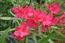Bunga Mentega, Beracun tetapi Berpotensi Antikanker