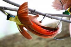 Raja Ampat Miliki Delapan Jenis Burung Cenderawasih