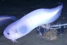 Tiga Spesies Ikan Baru Ditemukan di Dasar Samudera Pasifik