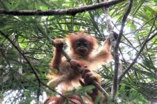 Potensi Bio-bridge Orangutan Tapanuli Terancam Kehadiran PLTA