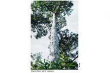 Dinas PUPR Bangka Belitung: Pohon Ramin Punah