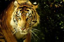 Dijodohkan, Harimau Sumatera Dipindahkan ke London