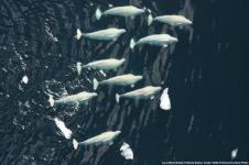 Rusia akan Bebaskan Hampir 100 Paus Orca dan Beluga