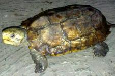 Kura-kura Paruh Betet yang Kian Langka