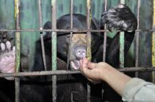 BBKSDA Riau Selamatkan Induk-Anak Beruang Madu Tersesat