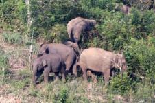 Kawanan Gajah Liar Terjebak di Area Perkebunan Aceh Utara