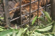 BKSDA Sumbar Tangkap Harimau Sumatera Usai Terkam Ternak