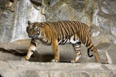 Bayi Harimau Sumatra Lahir di Kebun Binatang Polandia