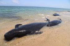 11 Paus Pilot Terdampar Pesisir Pantai Sabu Raijua NTT