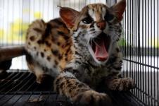 BBKSDA Riau Sita Kucing Hutan dan Musang Dari Warga