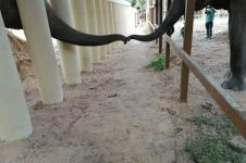Gajah Kesepian Dari Pakistan Mulai Hidup Baru di Kamboja