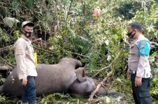 Warga Bener Meriah Temukan Gajah Liar Mati