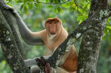 Bekantan, Monyet Berhidung Panjang Terancam Punah