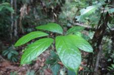Sengkubak, Vetsin Alami dari Kalimantan