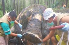 Gajah Ditemukan Mati di Wilayah Konsesi Hutan Tanaman Industri