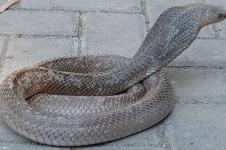 Mengapa Ular Kobra Muncul di Musim Penghujan?