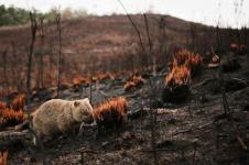 Wombat Tak Sengaja Penyelamat Hewan Lain Saat Kebakaran di Australia