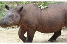 Menjaga Benteng Terakhir Badak Sumatera