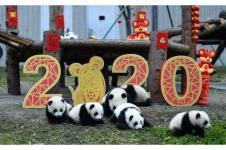 Bayi Panda Ucapkan Selamat Tahun Baru Imlek di China